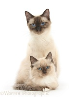 Birman-cross cat and kitten