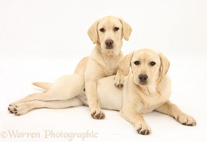 Yellow Labrador Retriever pups, 5 months old