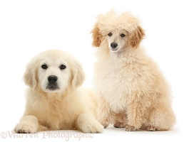 Apricot Toy Poodle and Golden Retriever pup