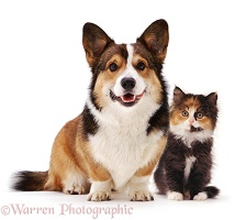 Pembrokeshire Welsh Corgi and tortoiseshell kitten
