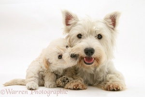 Westie with Woodle pup