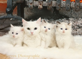 82ca248f42 Turkish Van cat and kittens photo WP03169