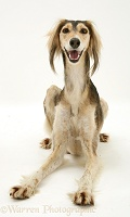 Smily Saluki lying head up
