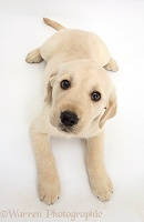 Yellow Labrador Retriever puppy looking up