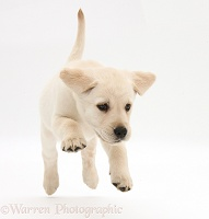Yellow Labrador Retriever puppy, 8 weeks old, running