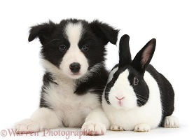 Black-and-white Border Collie pup and black Dutch rabbit