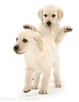 Yellow Labrador Retriever puppies playing