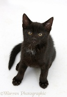 Black kitten, 8 weeks old, sitting