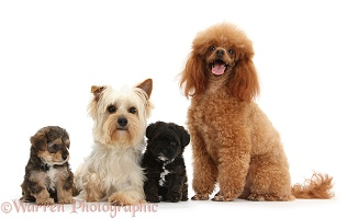 Yorkie mother and Poodle dad with Yorkipoo pups
