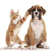 Ginger kitten batting the ear of Boxer pup