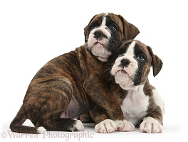 Two Boxer puppies huddled together