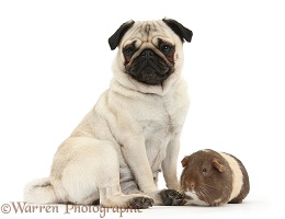 Fawn Pug and Guinea pig