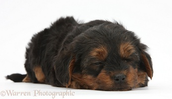 Yorkipoo pup, 6 weeks old, sleeping