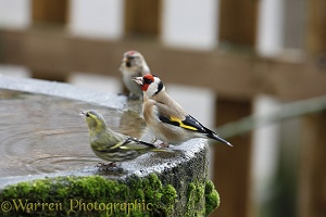Goldfinch drinking