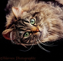 Portrait of long-haired tabby cat
