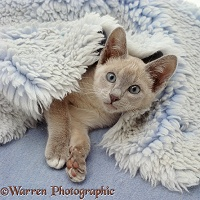 Lilac Tonkinese kitten lying in a blue vet bed