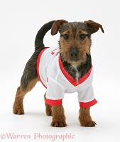 Jack Russell pup wearing a shirt