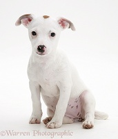 Jack Russell Terrier pup sitting