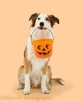 Border Collie dog holding a Halloween bucket