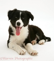Black-and-white Border Collie pup lying with head up