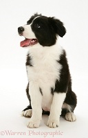 Black-and-white Border Collie pup, sitting