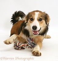 Young tricolour Border Collie pup with ragger toy