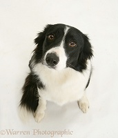 Black-and-white Border Collie, sitting and looking up