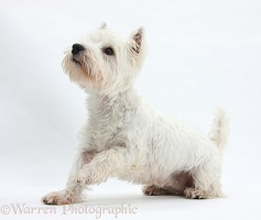 Westie with raised paw
