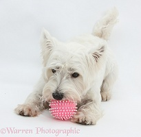 Westie chewing a ball