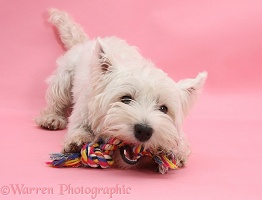 Westie chewing a ragger toy
