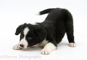 Black-and-white Border Collie pup in play-bow