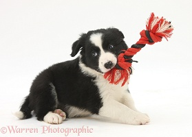 Playful black-and-white Border Collie puppy
