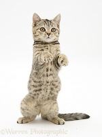 Playful tabby kitten 'begging'