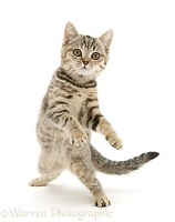 Playful tabby kitten dancing