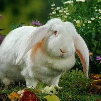 White French Lop rabbit