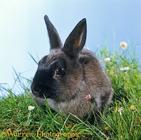 Siamese Sable Dwarf Rabbit