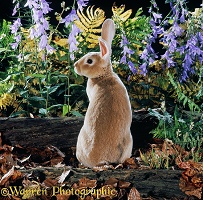 Orange Rex rabbit buck with bellflowers