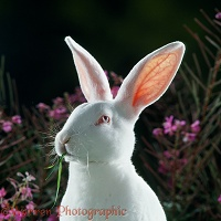 White rabbit with pink ears