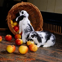 Black-and-white rabbits eating apples