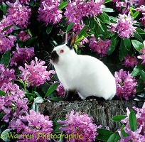Dwarf rabbit among rhododendrons