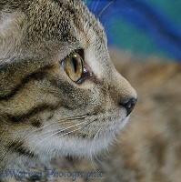 Profile portrait of tabby female cat, 5 months old