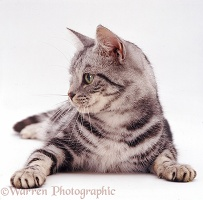 Silver tabby female cat