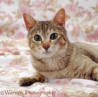 Tabby-tortoiseshell Siamese-cross cat