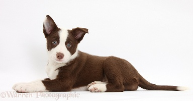 Chocolate Border Collie bitch pup