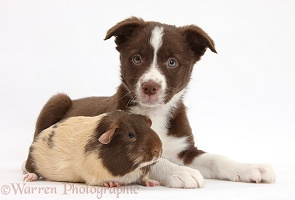 Chocolate Border Collie bitch pup and Guinea pig