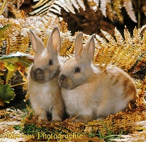 Madagascan Dwarf rabbits among autumn Bracken
