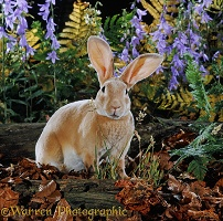 Orange Rex buck rabbit among Bellflowers