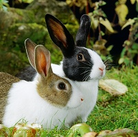 Agouti and black Dutch rabbits