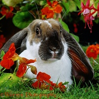Butterfly English Lop rabbit among Nasturtium flowers