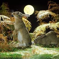 Rabbits and full moon